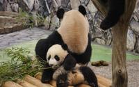 Pandas [4] wallpaper 2880x1800 jpg