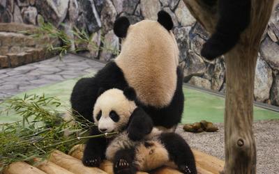 Pandas [4] wallpaper