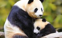Pandas [2] wallpaper 1920x1200 jpg