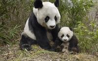 Pandas wallpaper 1920x1200 jpg