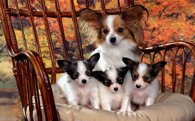 Papillon dog family wallpaper
