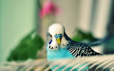 Parakeet wallpaper