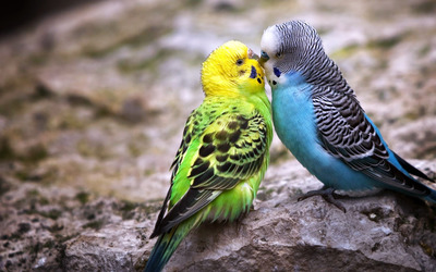 Parakeet love wallpaper