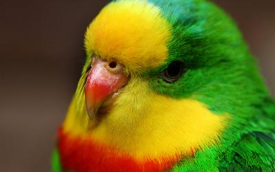 Parrot [3] Wallpaper
