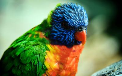 Parrot [4] wallpaper