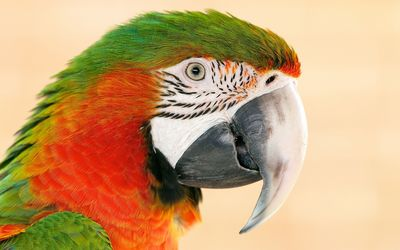 Parrot [5] wallpaper