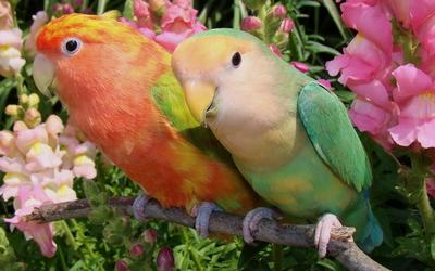 Parrots [3] wallpaper