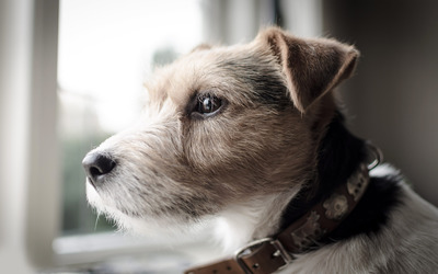 Parson Russell Terrier wallpaper