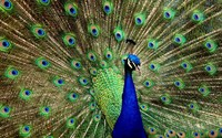 Peacock wallpaper 2560x1600 jpg