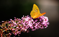 Pearl-bordered fritillary wallpaper 3840x2160 jpg