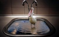 Pelican in a sink wallpaper 2560x1600 jpg