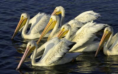 Pelicans wallpaper