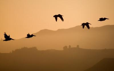 Pelicans at sunset wallpaper