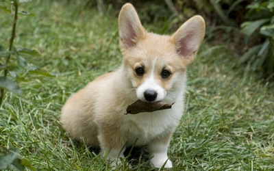 Pembroke Welsh Corgi puppy wallpaper