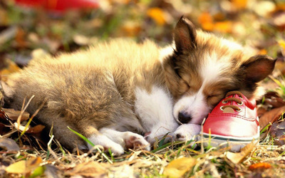 Pembroke Welsh Corgi puppy sleeping on a red shoe wallpaper