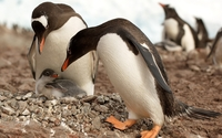 Penguin chick protected by its parents wallpaper 1920x1080 jpg
