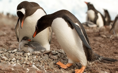 Penguin chick protected by its parents wallpaper