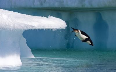 Penguin jumping into the ocean Wallpaper