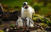 Penguins [2] wallpaper 2560x1600 jpg