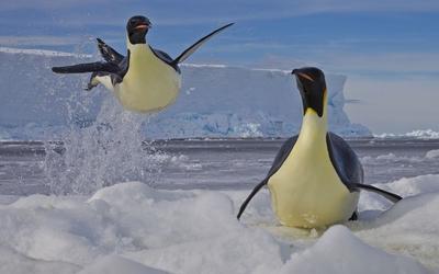 Penguins [5] wallpaper