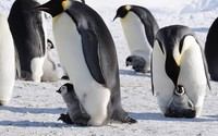 Penguins with chicks wallpaper 1920x1080 jpg