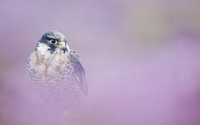 Peregrine falcon wallpaper 1920x1080 jpg