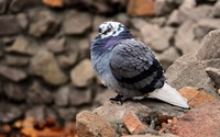 Pigeon wallpaper 1920x1200 jpg