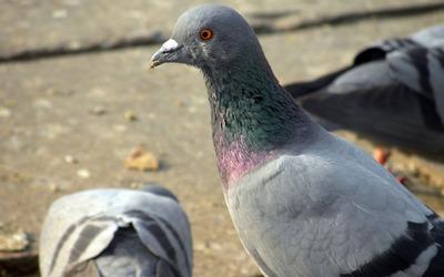 Pigeon [4] wallpaper