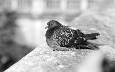 Pigeon [8] wallpaper