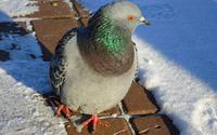Pigeon [5] wallpaper 2560x1600 jpg