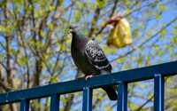 Pigeon on the metallic fence under a tree wallpaper 2560x1600 jpg