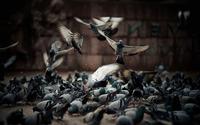 Pigeons [2] wallpaper 1920x1200 jpg