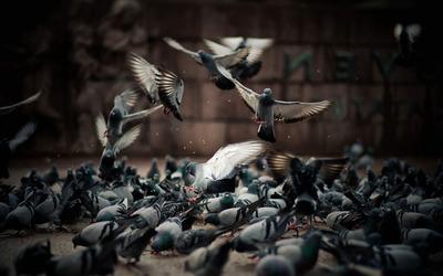 Pigeons [2] wallpaper