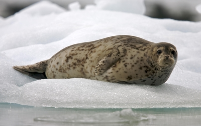 Pinniped on snow by a water wallpaper