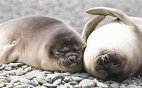 Pinnipeds sleeping on rocks wallpaper 1920x1080 jpg