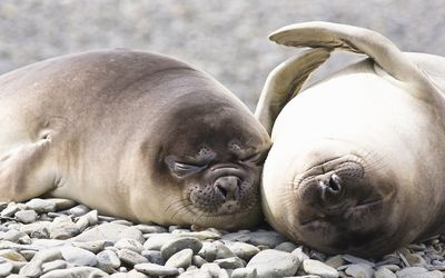 Pinnipeds sleeping on rocks wallpaper