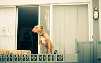 Pitbull on the balcony wallpaper 2560x1600 jpg