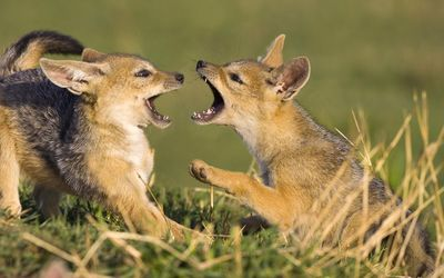 Playing fox cubs Wallpaper