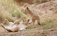 Playing lion cubs wallpaper 1920x1200 jpg