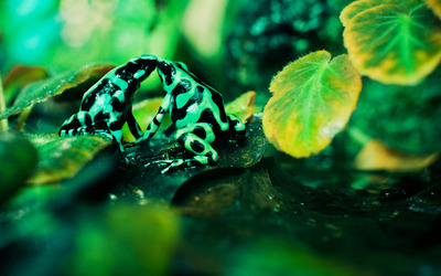 Poison dart frogs kissing wallpaper