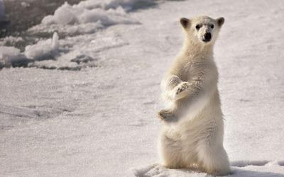 Polar bear [4] wallpaper