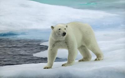 Polar bear [5] wallpaper