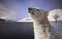Polar bear [9] wallpaper 1920x1200 jpg