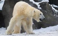 Polar bear [8] wallpaper 1920x1200 jpg