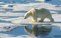 Polar bear [7] wallpaper 1920x1200 jpg