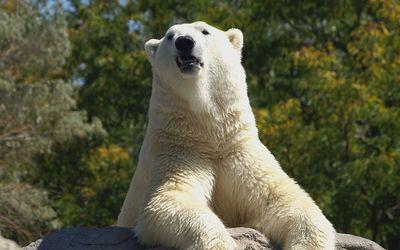 Polar bear [10] wallpaper