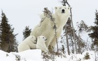 Polar bear and its cubs wallpaper 1920x1200 jpg