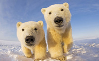Polar bear cubs wallpaper 1920x1200 jpg
