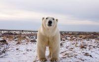 Polar bear gazing at the camera wallpaper 1920x1200 jpg