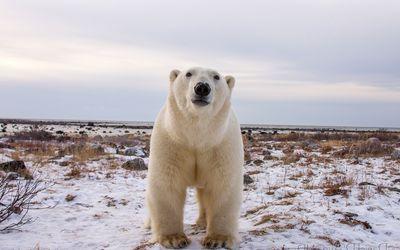 Polar bear gazing at the camera wallpaper